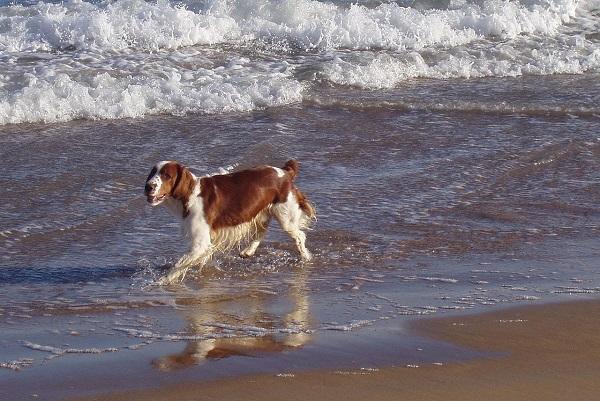 Cane in spiaggia - Sagaciousphil - CC BY SA 3.0