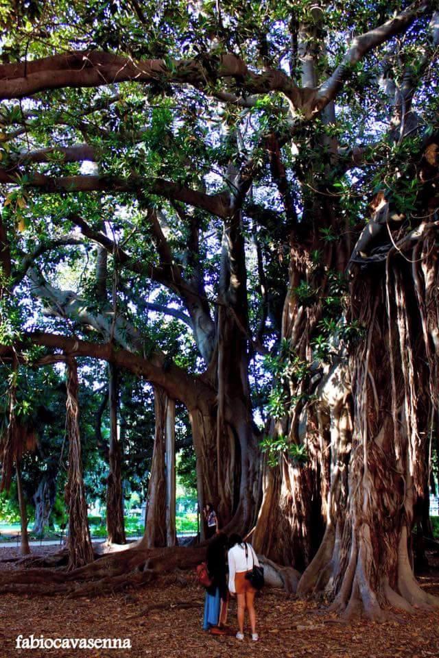 Palermo Ficus magnolioide Villa garibaldi