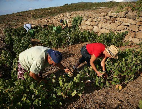 Vite ad Alberello di Pantelleria